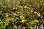 Bruine Alpenklaver (Trifolium badium)