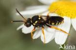 Doornloze wespbij (Nomada emarginata)