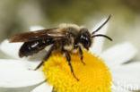 Zwartflankzandbij (Andrena thoracica)