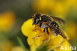 Tweelobbige wolbij (Anthidium oblongatum)