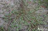 Grondster (Illecebrum verticillatum)
