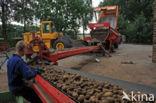 Aardappel (Solanum tuberosum)