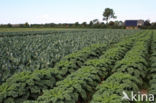 boerenkool (Brassica oleracea)