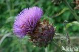 Kardoen (Cynara cardunculus)