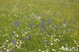 Veldsalie (Salvia pratensis)