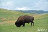 Bizon (Bison bison)