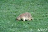 Prairiehond (Cynomys spec)