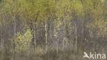 Berk (Betula)