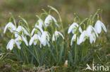 Sneeuwklokje (Galanthus spec.)