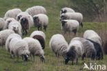 Schoonebeeker schaap (Ovis domesticus)