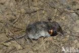 Gewone doodgraver (Nicrophorus vespilloides)