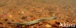 Beekprik (Lampetra planeri)