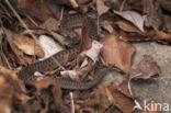 Adder (Vipera berus)