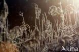 Rietgras (Phalaris arundinacea)