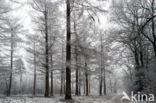 eik (Quercus)