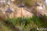 Grote bloedsteelmycena (Mycena haematopus)