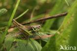 Greppelsprinkhaan (Metrioptera roeselii)