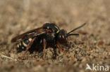 Schorviltbij (Epeolus tarsalis)
