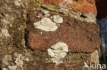 Kauwgommos (Diploicia canescens)