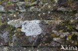 Kastanjebruine schotelkorst (Lecanora campestris)
