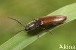 Hemicrepidius niger var. scrutator