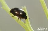 Limnebius crinifer