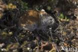 Boslemming (Myopus schisticolor)