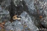 Berglemming (Lemmus lemmus)
