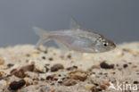 Vetje (Leucaspius delineatus)