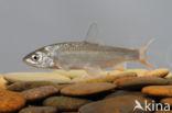Sneep (Chondrostoma nasus)