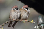 Ringmus (Passer montanus)