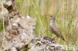Griekse Spotvogel (Hippolais olivetorum)