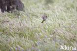 Huismus (Passer domesticus)