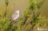 Vale Spotvogel (Hippolais pallida)