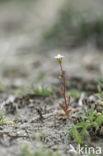 Kandelaartje (Saxifraga tridactylites)