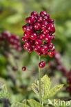 Christoffelkruid (Actaea spicata)