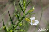 Genadekruid (Gratiola officinalis)