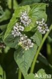 Boekweit (Fagopyrum esculentum)