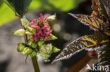 Wonderboom (Ricinus communis)