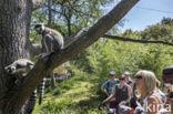 Ringstaartmaki (Lemur catta)
