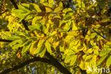 Tamme kastanje (Castanea sativa)