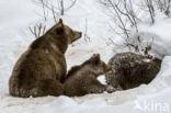 Ursus arctos arctos
