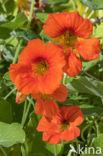 Oostindische kers (Tropaeolum majus)