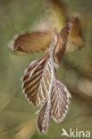 Rode beuk (Fagus purpurea)
