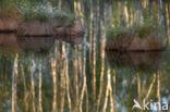 Eenarig wollegras (Eriophorum vaginatum)