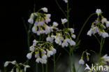 Pinksterbloem (Cardamine pratensis)