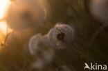 Gewone paardenbloem (Taraxacum officinale)
