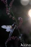 Viervlek (Libellula quadrimaculata)