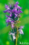 Rietorchis (Dactylorhiza majalis subsp. praetermissa)