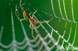 Spinnen (Araneae)